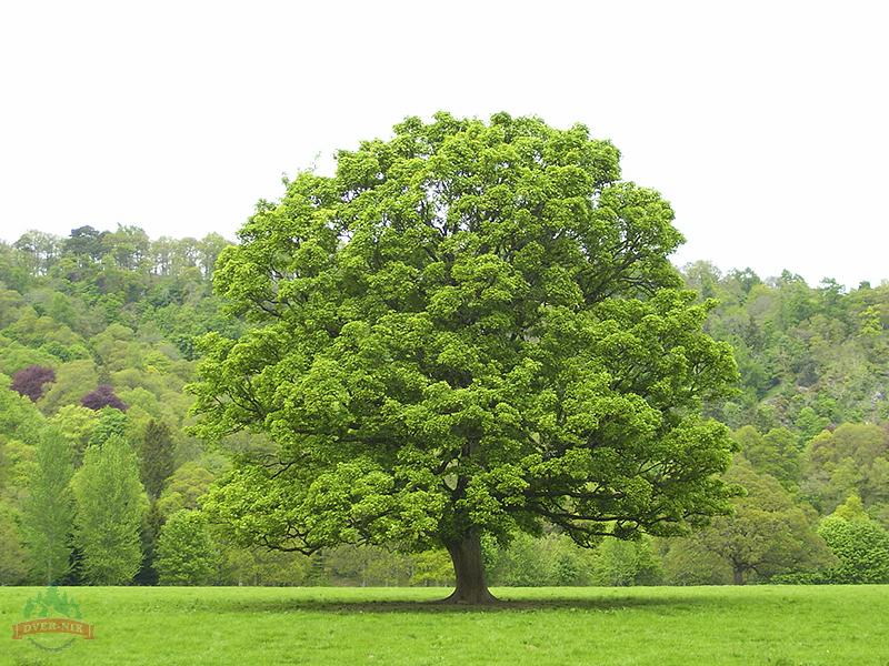 фото дерева типа дуб выявить следующую зависимость